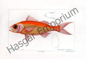 Serranus Oculatus Reproduction Photograph available framed