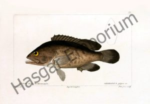Serranus Gigas Reproduction Photograph available framed