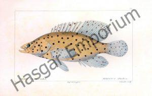 Grouper Serranus Altivelis Reproduction Photograph available framed
