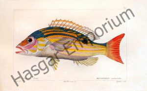 One Spotted Mesoprion Uninotatus Reproduction Photograph available framed