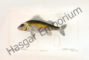 European Perch Acerina Vulgaris Reproduction Photograph available framed