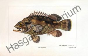 Wreckfish Polyprion Cernium Reproduction Photograph available framed