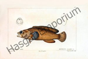 Rypticus Arenatus Reproduction Photograph available framed