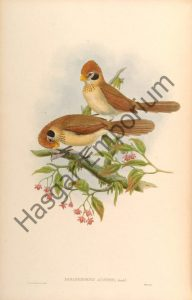 Spot Breasted Parrotbill Paradoxornis Austeni Reproduction Photograph available framed