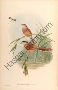 Reed Parrotbill Paradoxornis Heudei Reproduction Photograph available framed