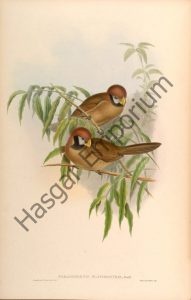 Black Breasted Parrotbill Paradoxornis Flavirostris Reproduction Photograph available framed