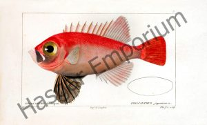 Priacanthus japonicus Reproduction Photograph available framed