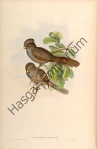 Brown Parrotbill Paradoxornis Unicolor Reproduction Photograph available framed