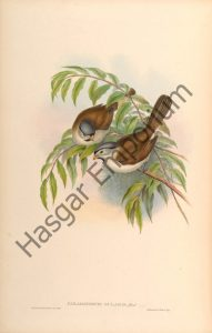 Grey Headed Parrotbill Paradoxornis Gularis Reproduction Photograph available framed