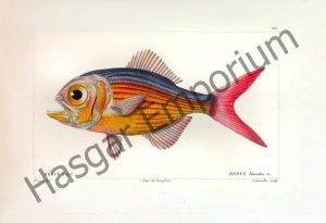 Beryx Lineatus Reproduction Photograph available framed