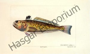 Starry Weever Trachinus Radiatus Reproduction Photograph available framed