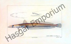 Brazilian Flathead Percophis Reproduction Photograph available framed