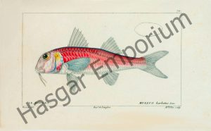 Red Mullet Mullus Barbatus Reproduction Photograph available framed