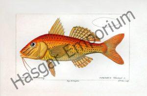 Goatfish Upeneus Vlamingii Reproduction Photograph available framed
