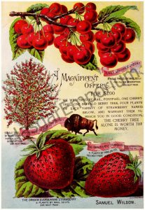 Early May Pride Cherry Parker Early Strawberry Reproduction Photograph available framed