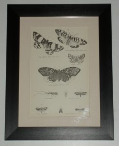 Moths Plate 2 Eggar Month page dated 1880 available unframed