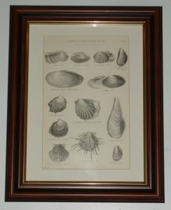 Lamellibranchiata Oyster Scallop page dated 1880 available unframed