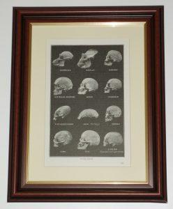 Skulls Human Eskimo Java Gorilla Turk page over 90 years old available unframed